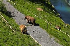 Brown Bear In Bear Park , Bern, Switzerland. Royalty Free Stock Photos