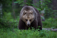 Brown Bear In Finnish Forest Royalty Free Stock Image