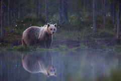 Free Brown Bear In Finnish Forest With Reflection From Lake Royalty Free Stock Photography - 66115757