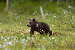 Brown Bear In Finnish Tiaga Forests Cute Cub Amongst Flowers Royalty Free Stock Images
