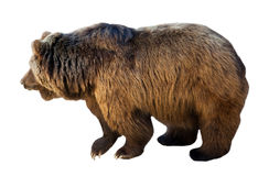Brown bear. Isolated  over white Royalty Free Stock Photos