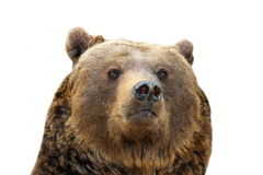 Brown bear isolated portrait Royalty Free Stock Images