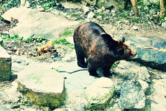 Brown bear. Is in its territory Royalty Free Stock Photography