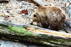 Brown bear. Is in its territory Royalty Free Stock Photo