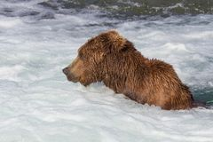 Brown Bear Jacuzzi Royalty Free Stock Photo