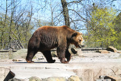 Brown bear. In the Kaliningrad Zoo Stock Images