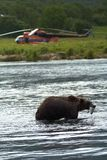 Brown bear, Kamchatka. Sea coast. Pacific ocean Royalty Free Stock Photos