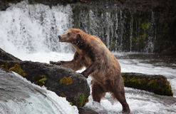 Brown bear, Katmai , Alaska Royalty Free Stock Images