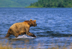 Brown Bear in Lake Royalty Free Stock Photography