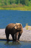 Brown Bear on Lakeshore royalty free stock photography