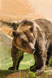 Brown Bear. A large brown bear in a Texas zoo royalty free stock photos