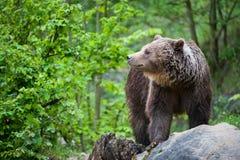 Brown bear (lat. ursus arctos) Royalty Free Stock Images