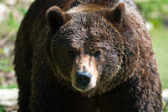 Brown bear (lat. ursus arctos) Stock Photo