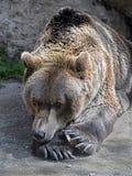 Brown bear 28 Royalty Free Stock Photo