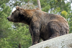 Brown bear 13 Royalty Free Stock Photo