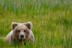 Brown Bear Laying In A Field royalty free stock image