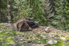 Brown bear laying in the forest. Big adult brown bear lying and bask in the sun in the Carpathian mountains Royalty Free Stock Photo