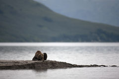 Brown bear laying on the lake Royalty Free Stock Images