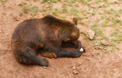 The brown bear lies on the earth Royalty Free Stock Photo