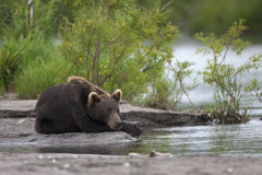 Brown bear is lies on the river Bank. Brown bear is  lies on the river Bank and waits until salmon Royalty Free Stock Image