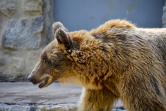 Brown Bear in Lisbon Zoo Royalty Free Stock Photos