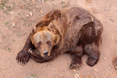 Brown bear looking into camera Royalty Free Stock Images