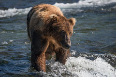 Brown bear looking down in shallow rapids Royalty Free Stock Images