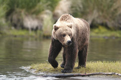 Brown bear looking for food. Along Brooks River, Alaska Royalty Free Stock Images