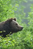 Brown Bear looking out of a bush. Close-up of a Brown Bear, Ursus arctos, looking out of a bush, Germany, Europe stock images