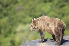 Brown bear looking over a cliff in Alaska Royalty Free Stock Photos