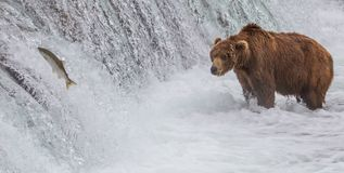 Brown Bear Looking At Salmon Jumping up the Falls Stock Images