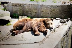 Brown bear is looking for a suitable place where there is no hot sunlight stock image
