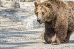 Brown bear looking at you Royalty Free Stock Images