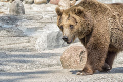 Brown bear looking at you Royalty Free Stock Photography