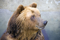 Brown bear lover of honey Royalty Free Stock Images