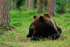 Brown bear lying Stock Photography