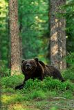 Brown bear lying Royalty Free Stock Images