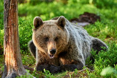 Brown bear lying in the forest Royalty Free Stock Photo