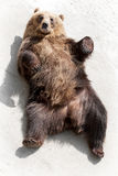 Brown bear lying on the ground Royalty Free Stock Images