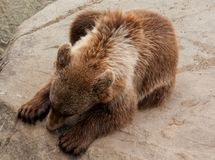 Brown bear lying on a rock Royalty Free Stock Photography