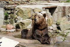 Brown bear lying among the stones royalty free stock photo