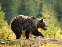 Eurasian brown bear - Ursus actor actor -looking foe something to eat Royalty Free Stock Photography