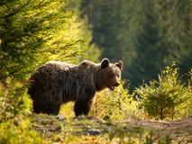 Eurasian brown bear - Ursus actor actor - Slovakia Royalty Free Stock Photo