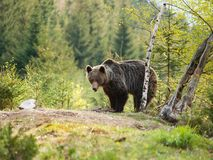 Brown bear in Mala Fatra mountains in Slovakia - Ursus actor. Eurasian brown bear - Ursus actor actor - near birch tree Royalty Free Stock Photos
