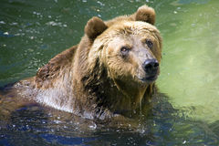 Brown bear mammal. One of the large predators brown bear mammal Royalty Free Stock Photo