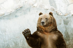 Brown Bear. At Moscow Zoo Royalty Free Stock Photos