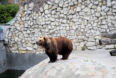 Brown bear in Moscow zoo Stock Images