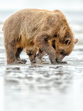 Brown Bear Mother and Cub Digging for Clams Stock Photography