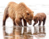 Brown Bear Mother and Cub Digging for Clams stock photo