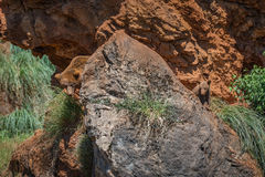 Brown bear mother cub look round rock Stock Image